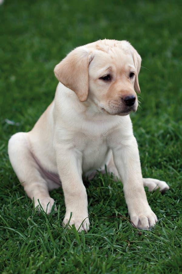 Labrador (retriever) puppy. Sitting on the grass lawn royalty free stock photos