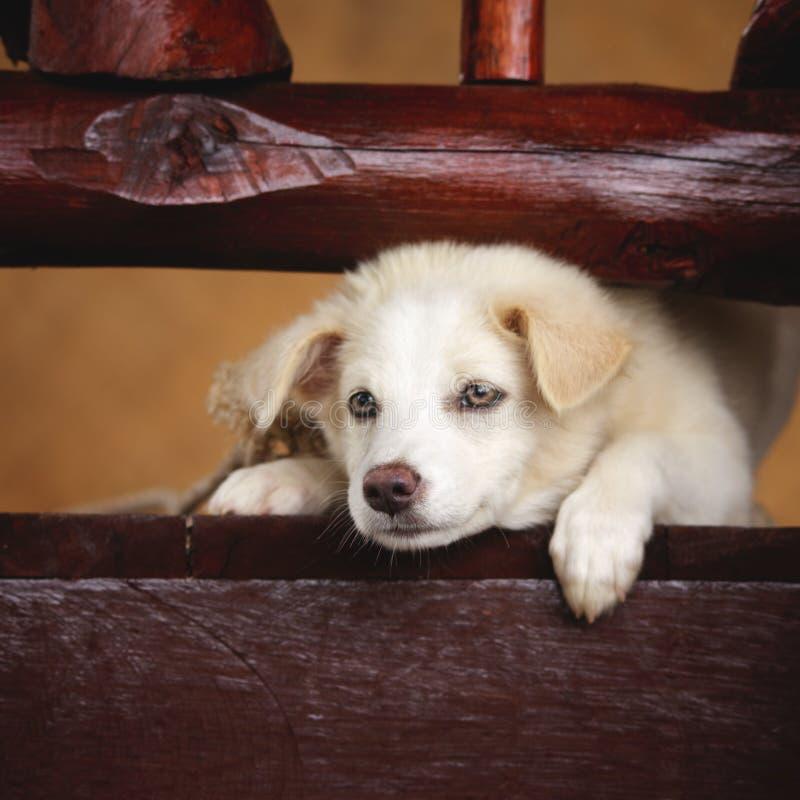 Labrador Retriever Puppy. White labrador retriever puppy lying on terrace royalty free stock image