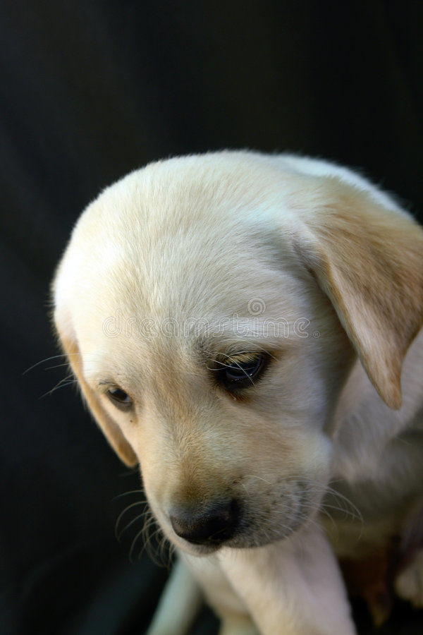 Labrador retriever puppy 5 royalty free stock image