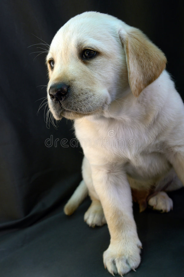 Labrador retriever puppy 8 royalty free stock photos