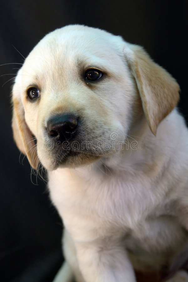 Labrador retriever puppy 9 royalty free stock photography
