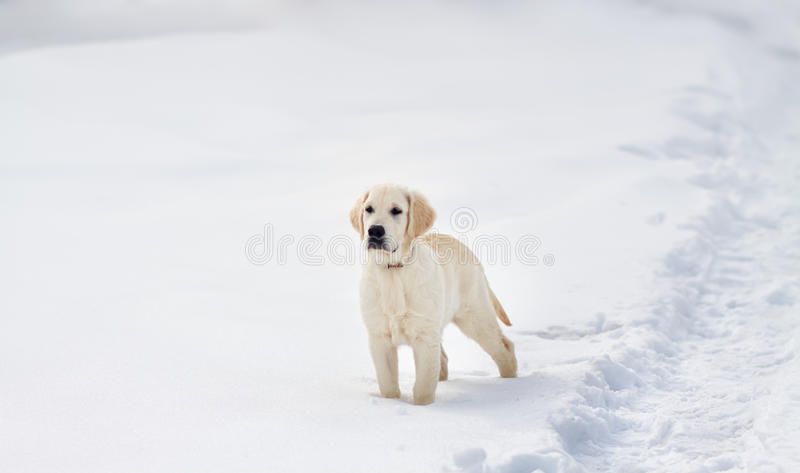 Labrador retriever puppy dog in the winter stock photo