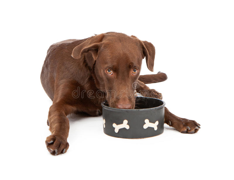 Labrador Retriever Puppy Drinking Water. A tired and thirsty chocolate Labrador Retriever puppy laying down against a white background and drinking water from a stock photos