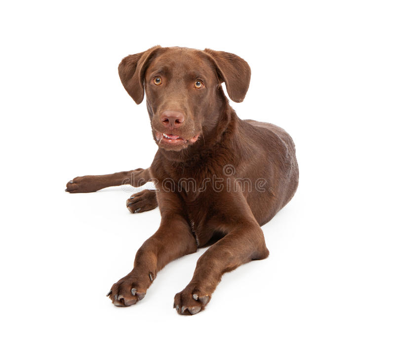 Labrador Retriever Puppy Looking At Camera