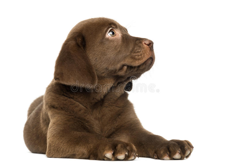 Labrador Retriever Puppy lying and looking up, 2 months old stock photography