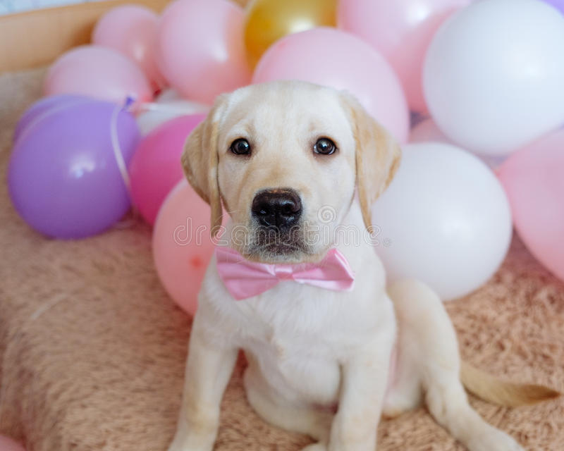 Labrador retriever puppy with pink bow. At home stock image