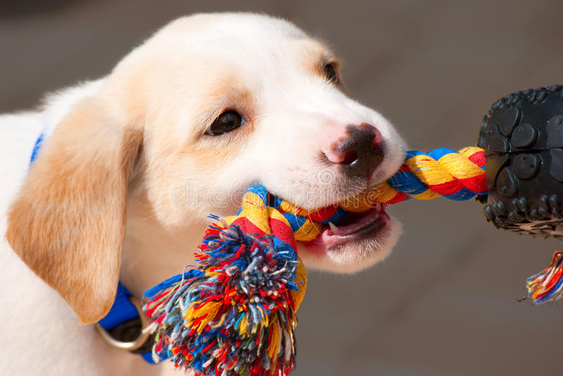 Labrador retriever puppy playing tug of war. Adorable Labrador retriever puppy playing tug of war with a colorful rope stock photography