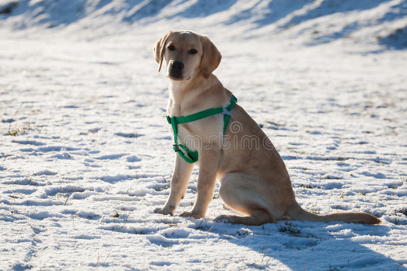 Labrador retriever puppy. Sitting in snow on sunny day stock photography