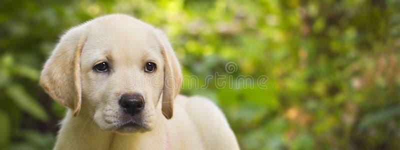 Labrador retriever puppy in the yard banner. (shallow dof royalty free stock photos