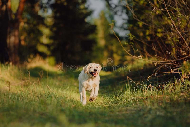 Labrador retriever puppy in the yard at the forest royalty free stock images
