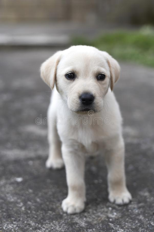 Labrador retriever puppy in the yard. Close up photo royalty free stock photos