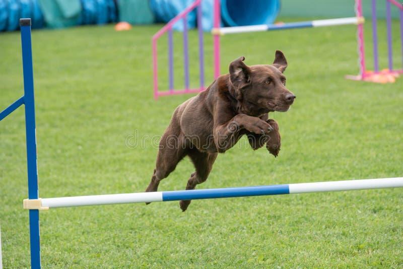 Labrador retriever que salta sobre o obstáculo na competição da agilidade fotografia de stock