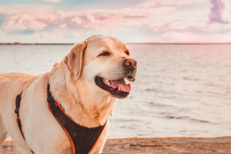 Labrador Retriever smiles against the background of the sea and the sunset sky. royalty free stock image