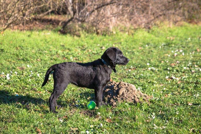 Labrador retriever szczeniaka odprowadzenie zdjęcie stock