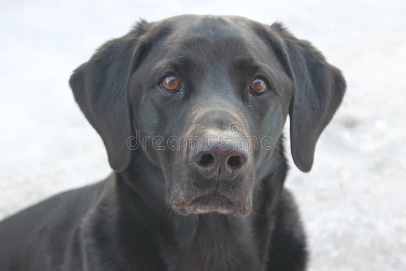 Labrador retriever w Finlands śnieżnej naturze obrazy stock