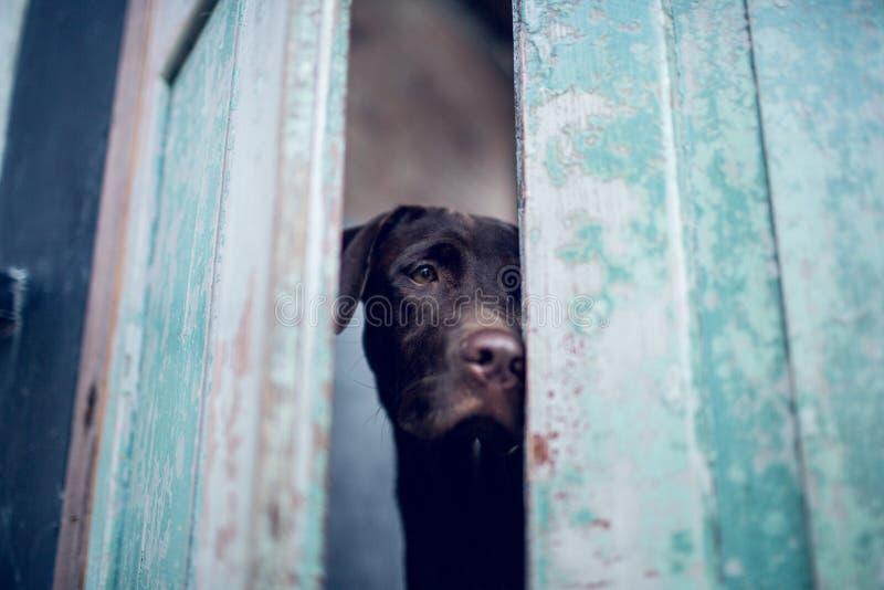 Labrador retriever waiting owner at the door.- Selective focus on eye dog. Thailandn stock image