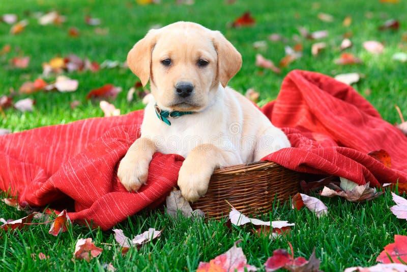 Labrador retriever-Welpe, der auf roter Decke im Gras mit Herbstlaub sitzt lizenzfreie stockfotografie