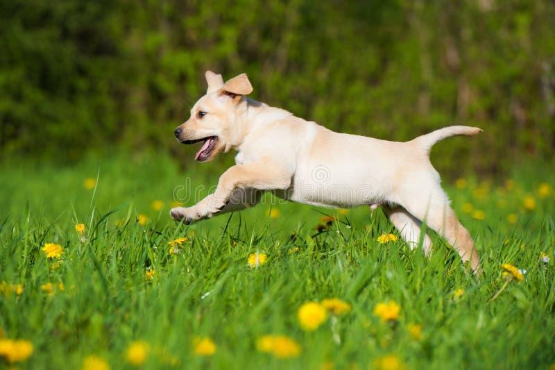 Labrador retriever-Welpe, der in eine Frühlingswiese läuft lizenzfreie stockfotos