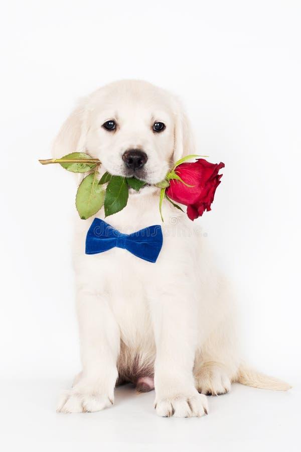 golden retrieverwelpe, der eine Rose in seinem Mund hält stockfoto