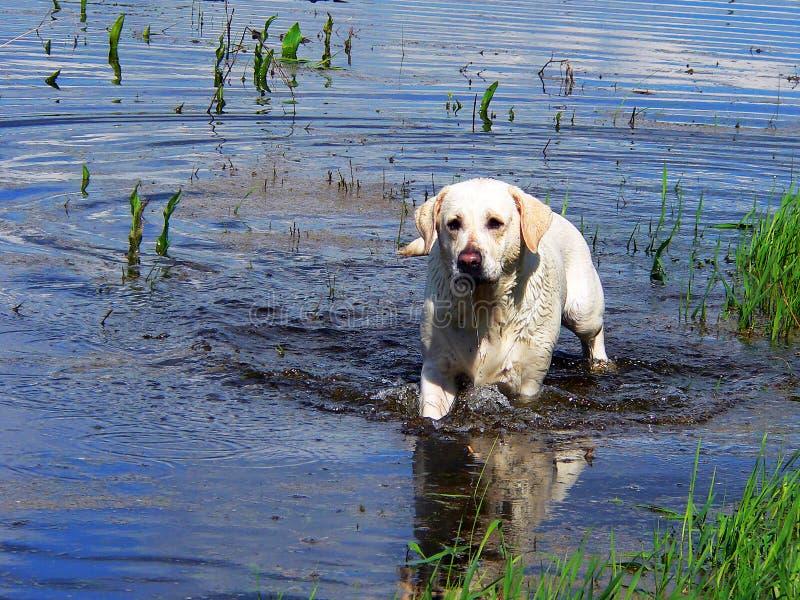 Labrador retriver 02. Labrador retriver. best of breed royalty free stock image