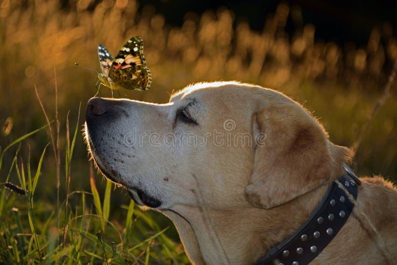Labrador retriver royalty-vrije stock afbeelding