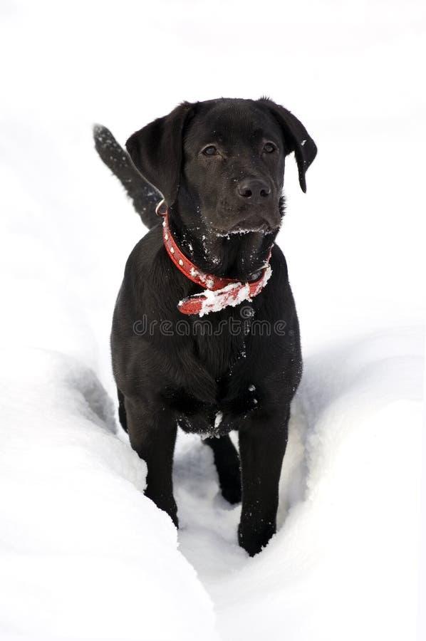 Labrador retriver -black puppy in deep snow royalty free stock images