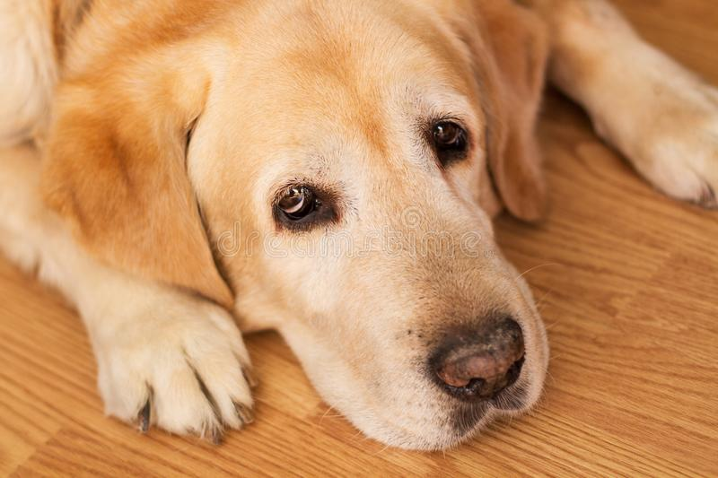 A labrador retriver lying on the floor royalty free stock photography