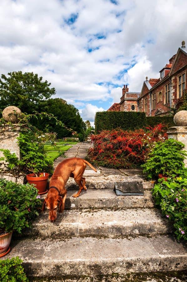 Labrador rouge reniflant autour sur quelques vieilles étapes en pierre photographie stock libre de droits