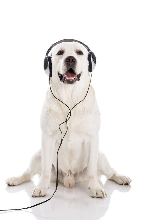 Labrador słucha muzykę obrazy royalty free