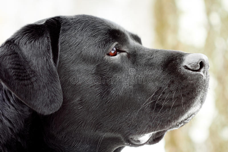 Labrador's head in profile. Close-up, shallow depth of field stock photography