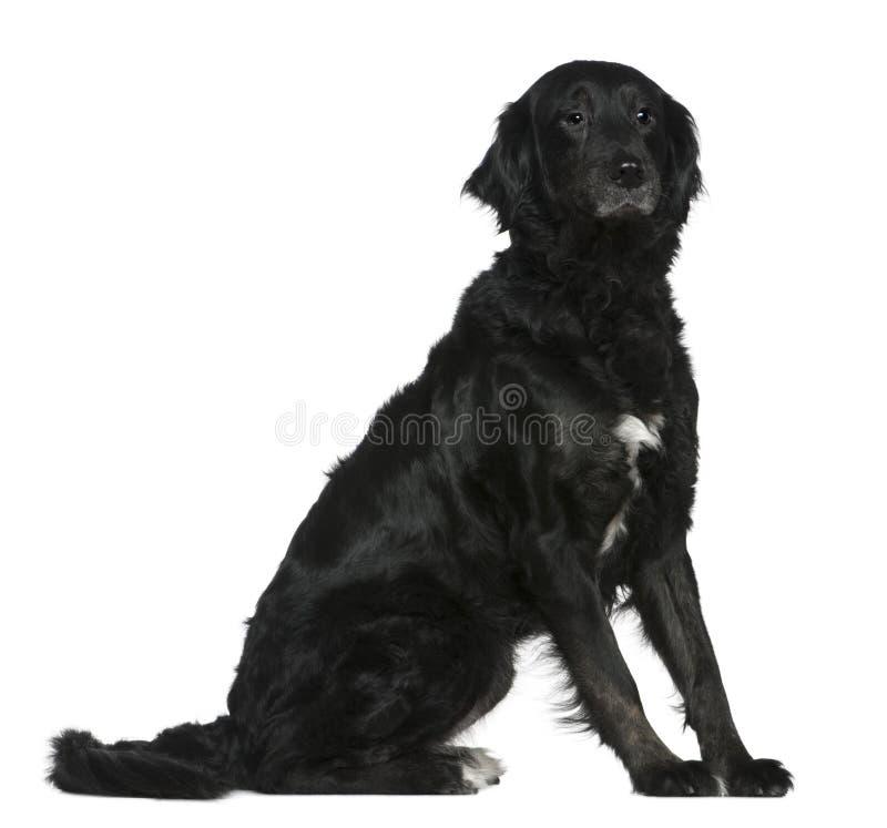 Labrador se mezcló con un perro de montaña de Bernese fotografía de archivo