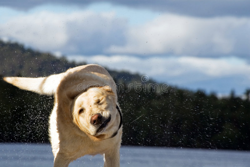 Labrador shaking the water off. A labrador is shaking the water off after swimming in a lake royalty free stock photo