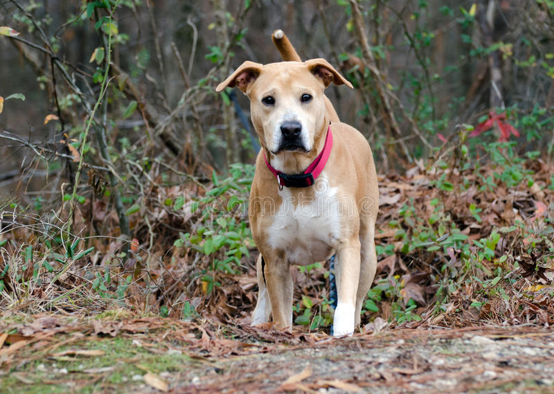 Labrador Shar-Pei mixed breed dog. With red collar, outdoor adoption pet photography for Walton County Humane Society Animal Shelter stock image