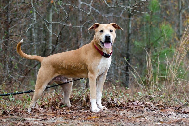 Labrador Shar-Pei mixed breed dog. With red collar, outdoor adoption pet photography for Walton County Humane Society Animal Shelter stock photos