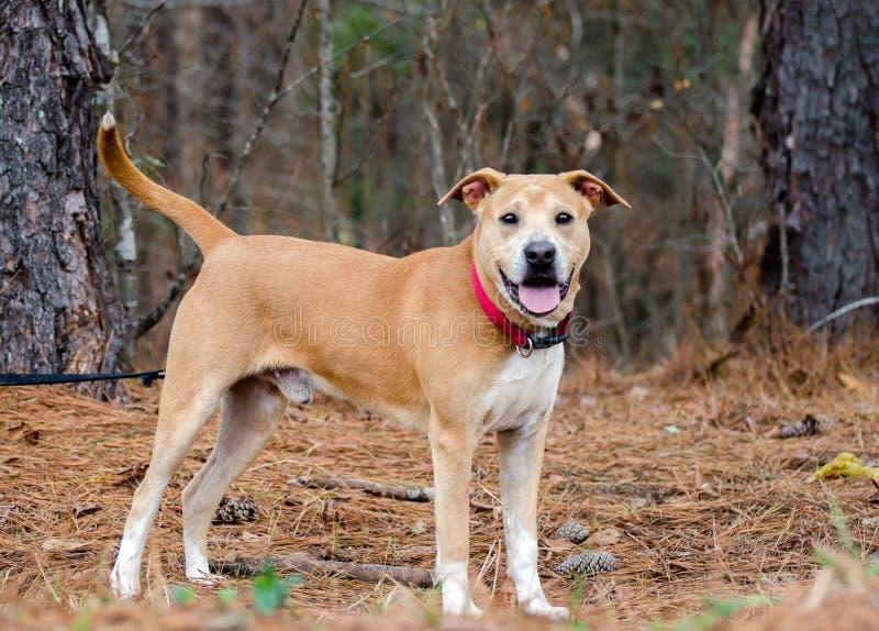 Labrador Shar Pei mixed breed. Outdoor pet adoption photography, humane society, Walton County Animal Control royalty free stock photo