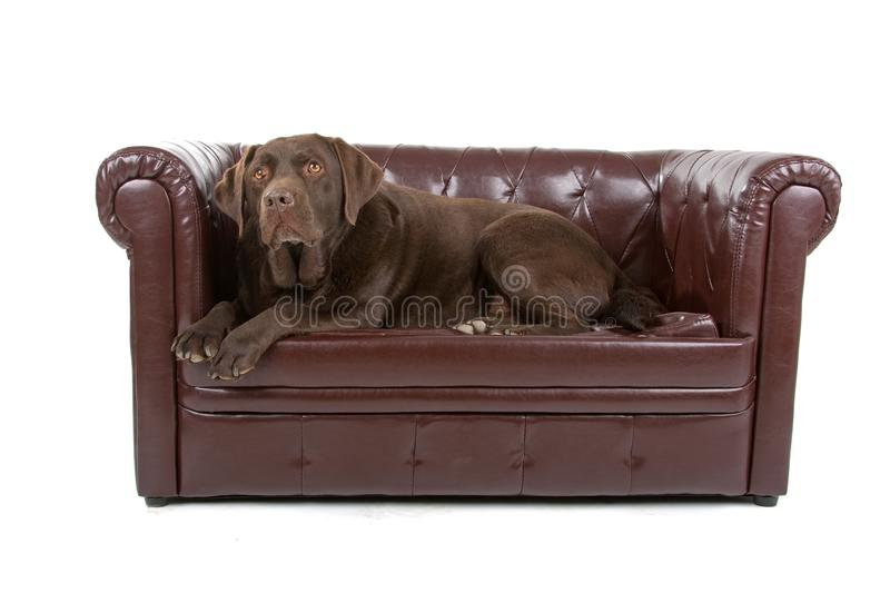 Download Labrador on sofa stock photo. Image of mammal, couch - 14128462