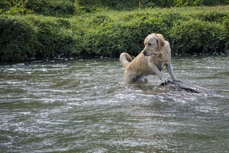 Labrador som spelar inom en flod royaltyfria bilder