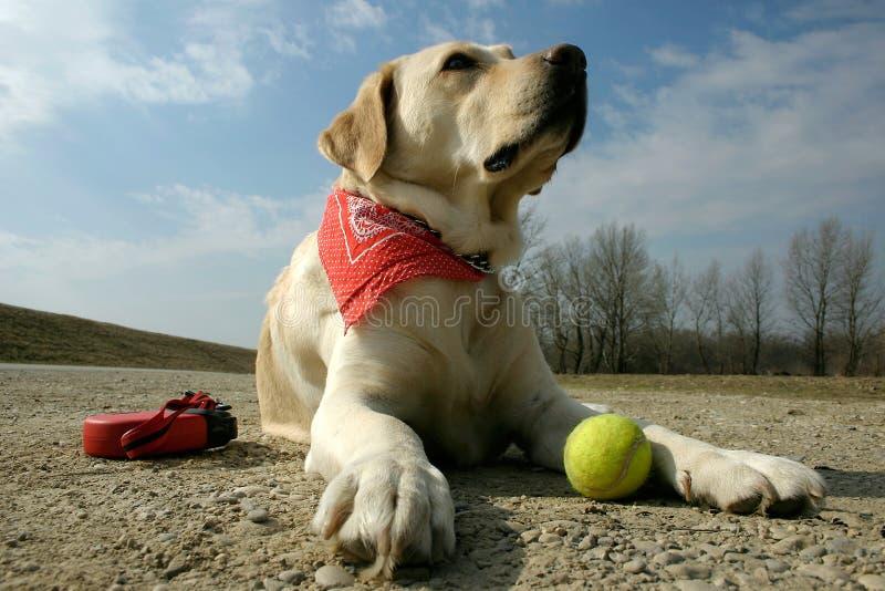 Labrador and sunshine stock photos