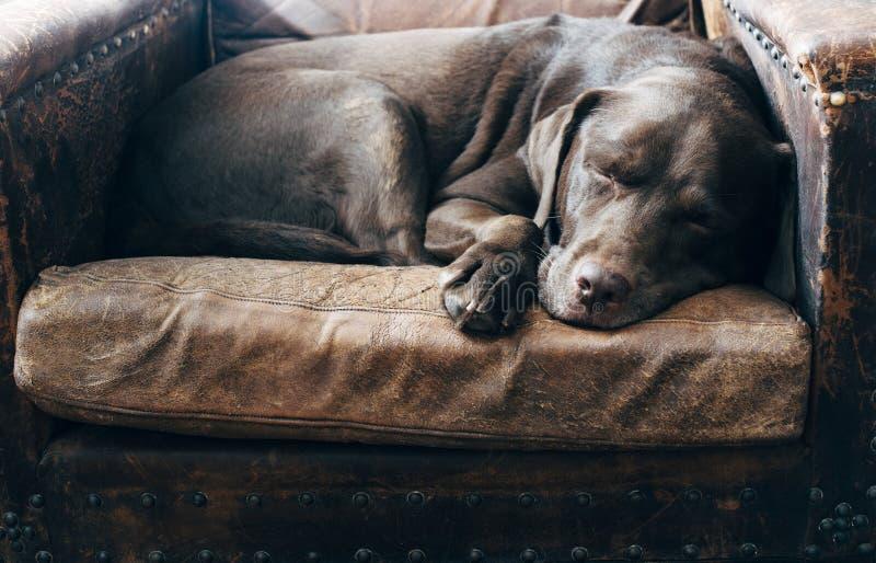 Labrador superior fotografia de stock royalty free