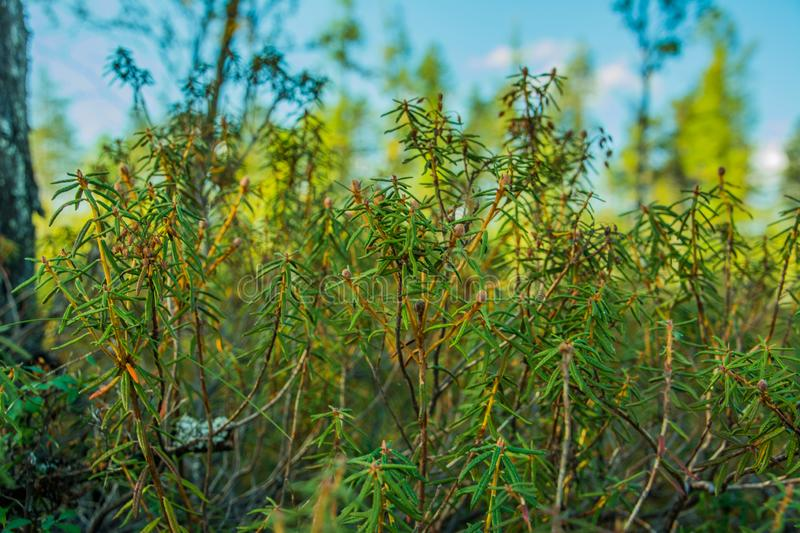 Labrador tea close-up in the forest. Yamal. Arctic nature. Green grass stock photography