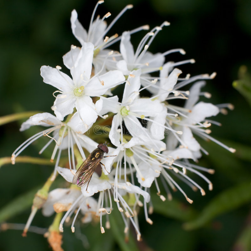 Labrador tea and fly. The small fly on a flower of a labrador tea stock images