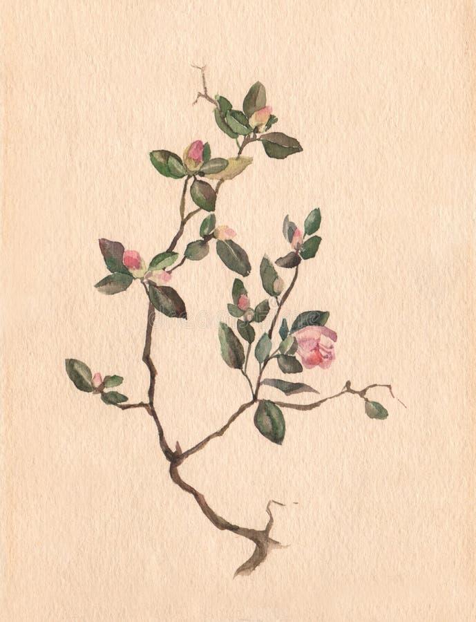 Free Labrador Tea Watercolor Painting Royalty Free Stock Photo - 74685785