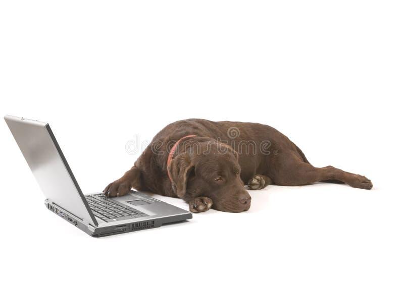 Labrador travaillant sur l'ordinateur portatif photos stock