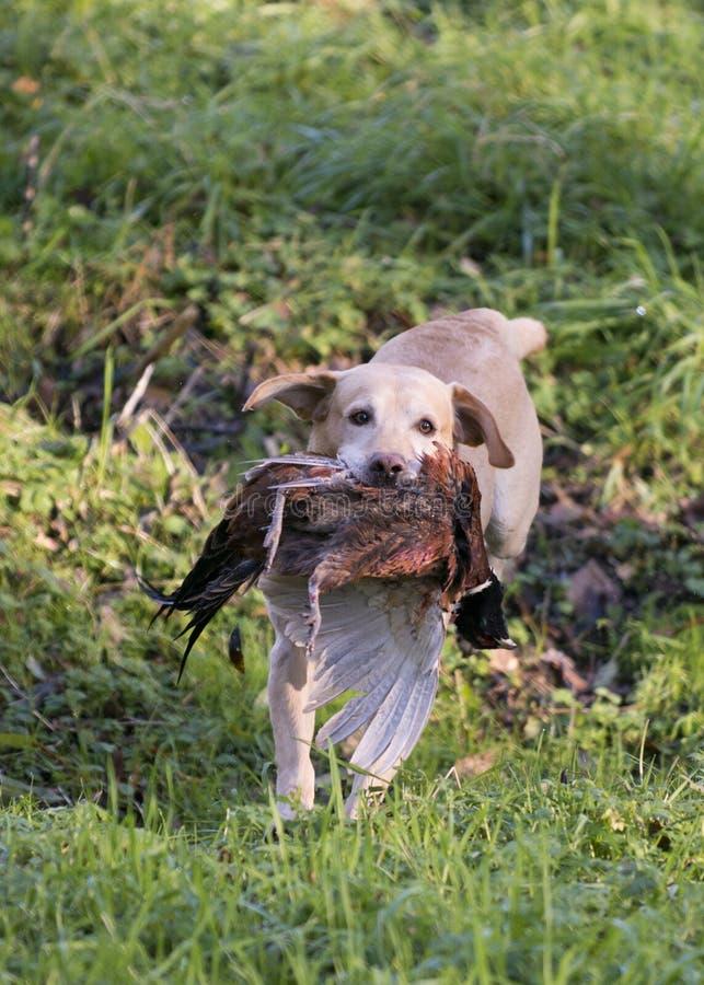 Labrador und Fasan lizenzfreies stockbild