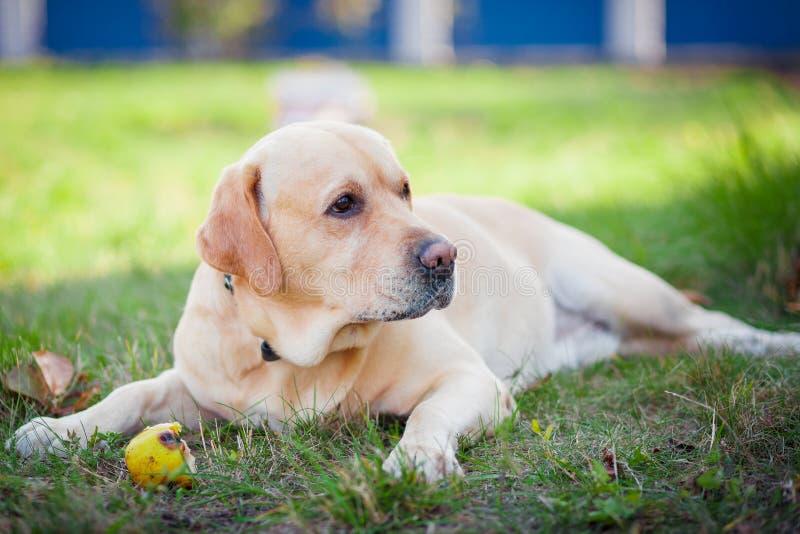 Labrador und Kugel lizenzfreie stockbilder