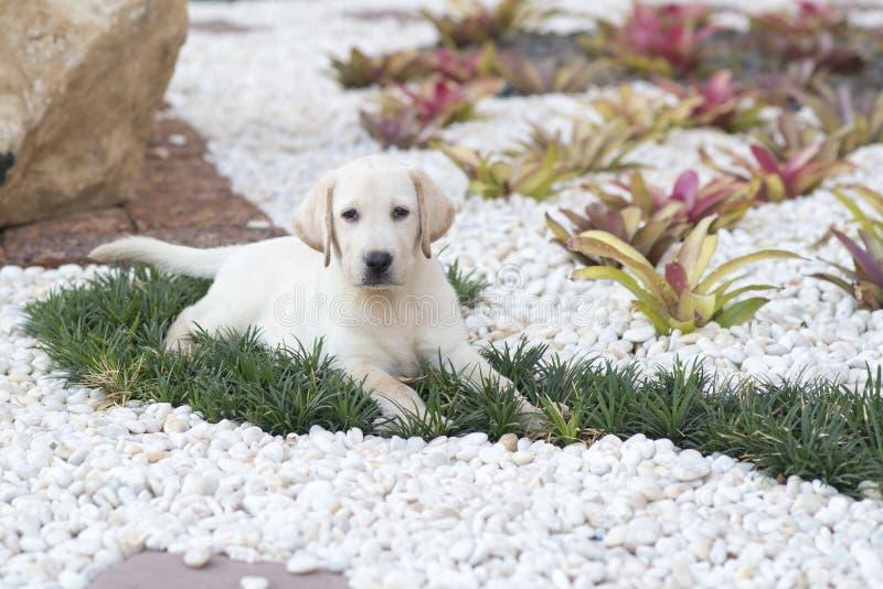 labrador valpretriever fotografering för bildbyråer