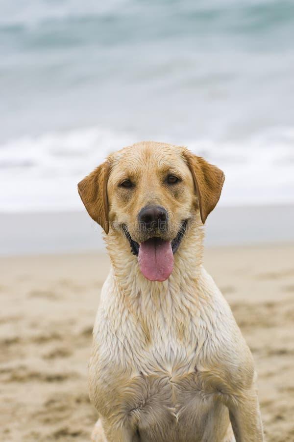 Labrador van de hond puppy lat het strand stock afbeelding