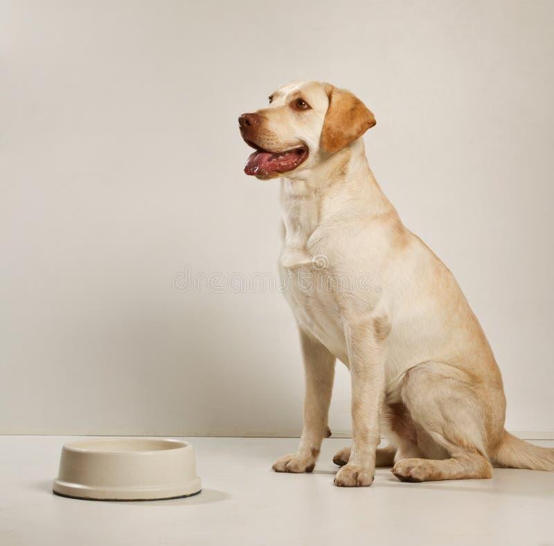 Labrador - volwassen hond royalty-vrije stock foto