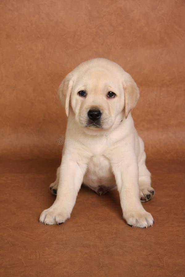 Labrador-Welpe stockfoto