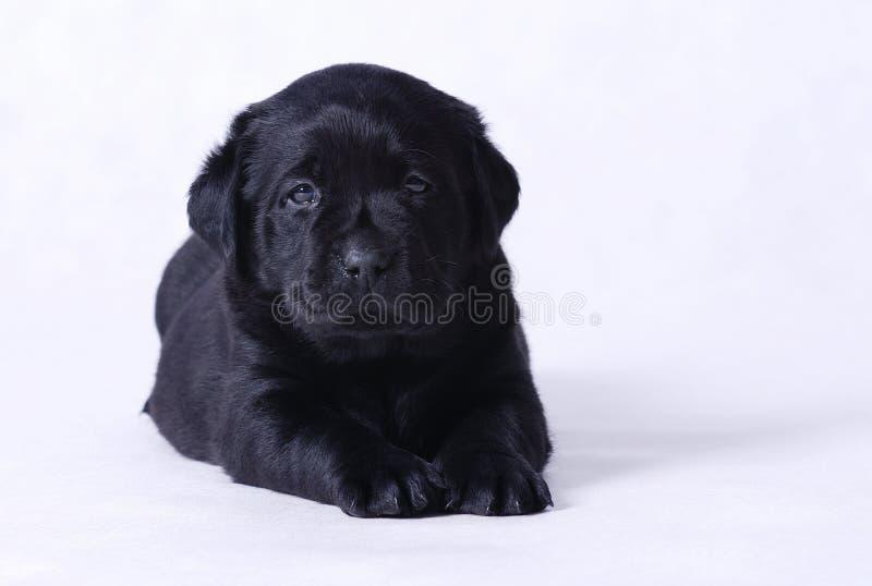Labrador-Welpe stockbild